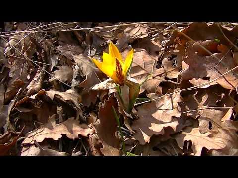 Крым  Цветущие в Феврале  кизил, подснежник, крокус, дрок. Crimea Blossoming in February.