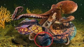 Most Satisfying Moray Eel Hunting Octopus Video - Amazing Battle Under Seabed With Beautiful Natural