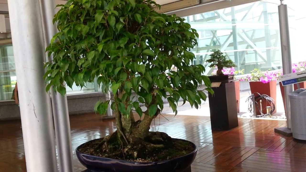 Bons 225 I Ficus 50 A 241 Os De Edad Bonsai Ficus Benjamina Youtube