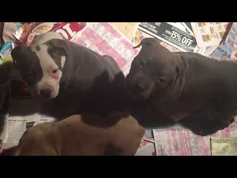 UPDATE ON PUPPIES FOR SALE ( NOT A PIT BULLS) (843-688-5098)