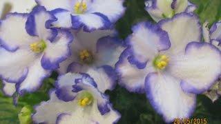 ФИАЛКИ (СЕНПОЛИИ) - ВЫРАЩИВАНИЕ, УХОД, РАЗМНОЖЕНИЕ ЧАСТЬ 1 Violet (Saintpaulia) - cultivation,(В данном Мастер-классе я рассажу о выращивании, уходе и размножении фиалок. Порадуйте себя необыкновенной..., 2015-05-29T18:40:12.000Z)