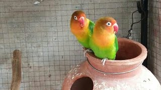 Lovebird Fisher and Budgie