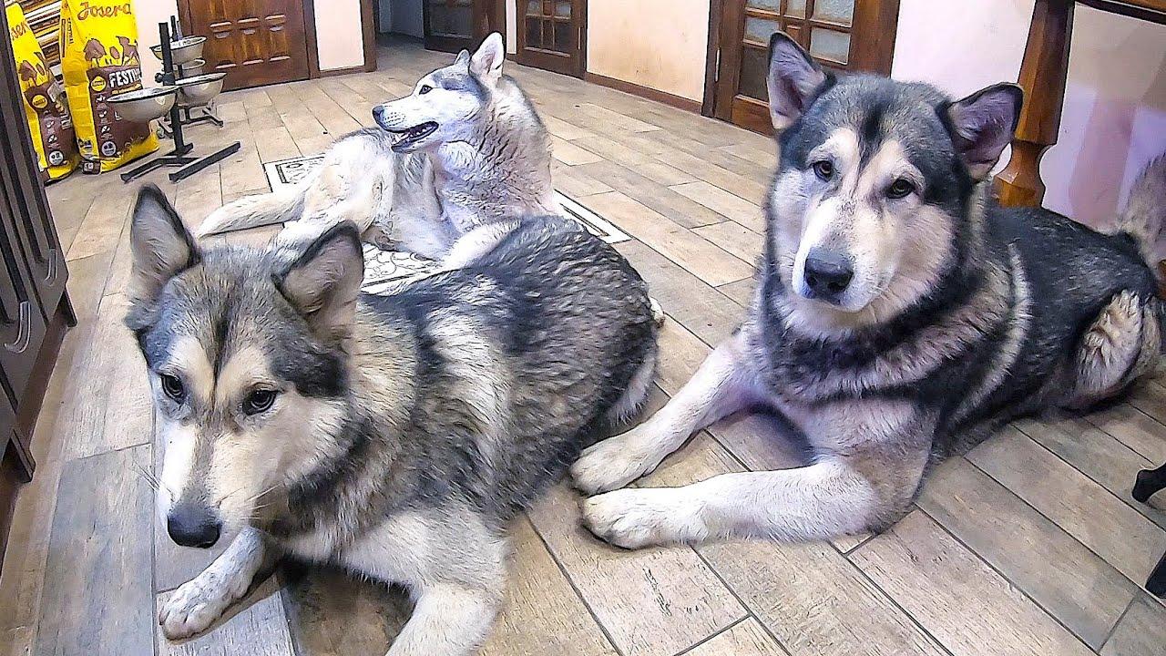 СКРЫТАЯ КАМЕРА! Собаки одни дома. У хаски ИСТЕРИКА MyTub.uz