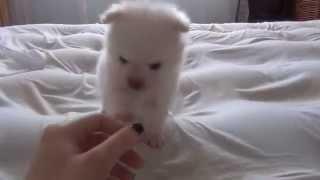 Cute White pomeranian Puppy Playing  Watching a Puppy Grow