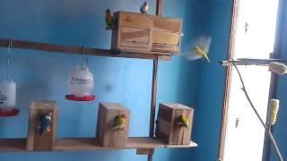 Macam Macam Jenis Burung Lovebird Lengkap Dengan Gambar