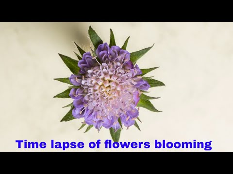 Time lapse of flowers blooming