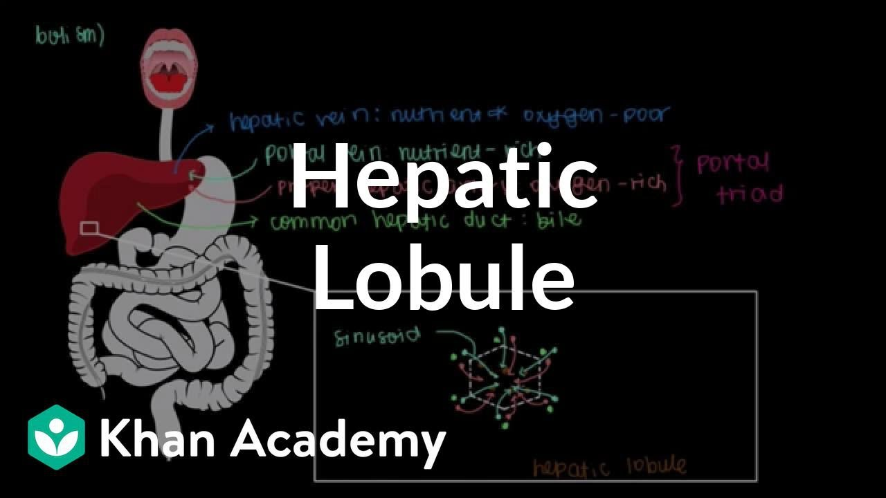liver lobe diagram labeled [ 1280 x 720 Pixel ]