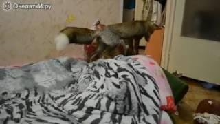 Лиса играет с кошкой-Funny-Fox plays with a cat