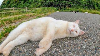 駐車場で出会った白猫ちゃん、撫でると足元に擦り寄ってきてカワイイ