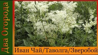 03 07 Сбор Иван Чая и других лекарственных трав