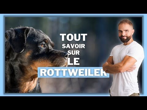 Le Rottweiler : caractère, éducation, comportement, santé : on vous dit tout !