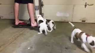 American Bulldogs For Sale- Kansas City