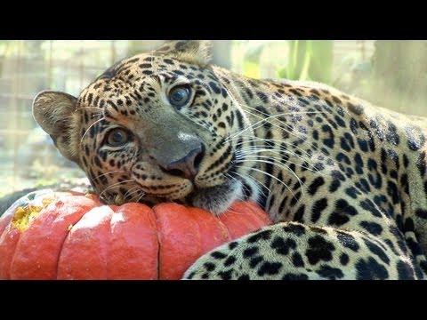 BIG CATS vs Pumpkins!