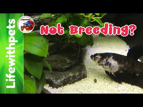 Why We're Not Breeding Betta Fish