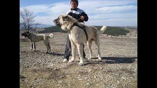 karadeniz dağ köpeği ve kangallar