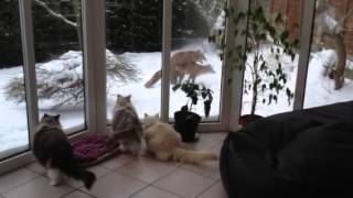 Ragdoll cats watching foxes have sex