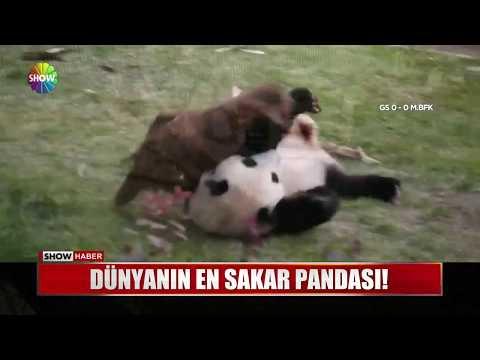 Dünyanın En Sakar Pandası!