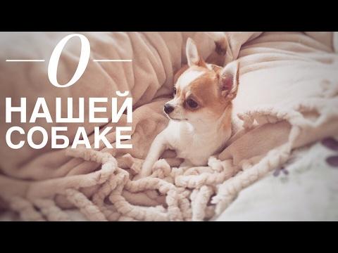 О нашей собаке. Чихуахуа (Характер | Питание | Уход)