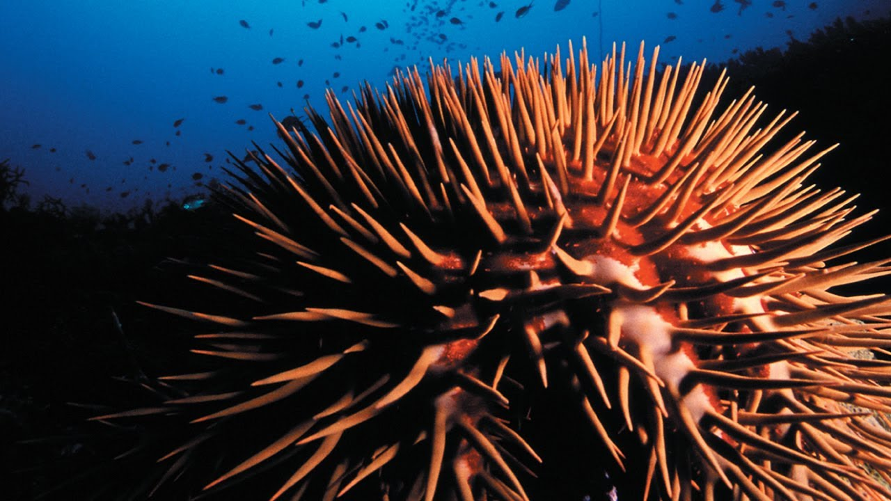 CROWN OF THORNS STARFISH Monster From The Shallows TRAILER