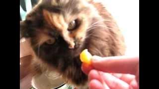 кошка ест мандарин | cat eats mandarin orange
