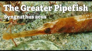 The Greater Pipefish
