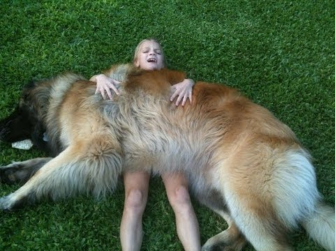 The Leonberger Is The Most Gloriously Majestic Dog You'll Ever See In Your Life