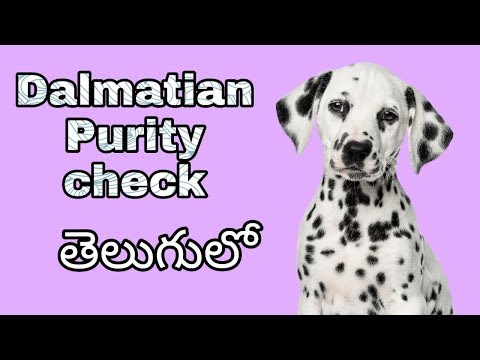 How To Check Dalmatian dog Pure breed