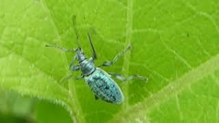 Gambar cover Turquoise Beetle - Polydrusus  - Blá bjalla - Ranabjalla - Skordýr - Bjöllur