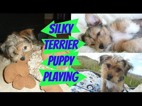 Watch Cute Puppies Playing! Daisy (Shih Tzu Bichon Frise) Meets Lily (Shih Tzu Silky Terrier Mix)