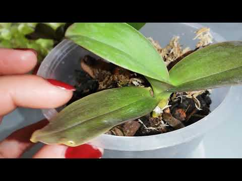 Детки орхидеи без коней, что делать, как с ними поступить.