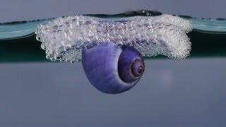 Purple Sea Snail
