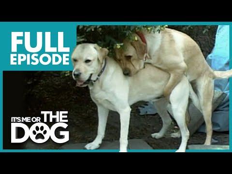 Humping Labradors: Jimi & Duke | Full Episode | It's Me Or The Dog