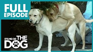 Humping Labradors: Jimi & Duke | Full Episode | It's Me or The Dog