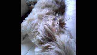 我が家の愛犬ラサアプソのマロン6才(*^^*)おねむですなっ。