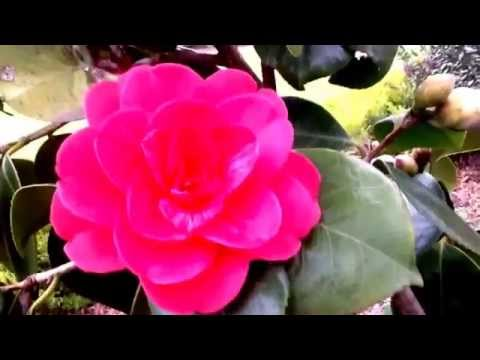 The meaning of Camellias in the language of flowers