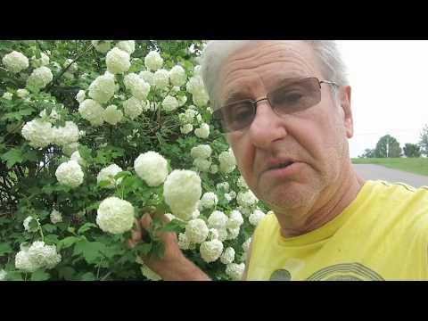 My Snowball Bush Grew Into A Mess .