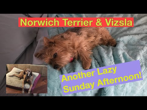 Vizsla & Norwich Terrier - Just Another Lazy Sunday Afternoon