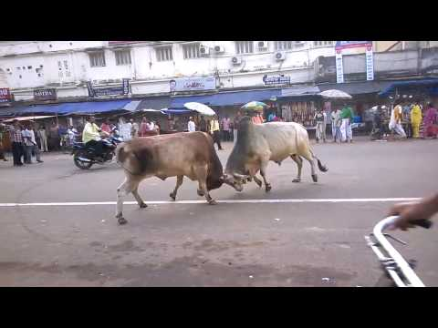 Original Ox fight live on Road In Puri, Orissa(Must Watch)