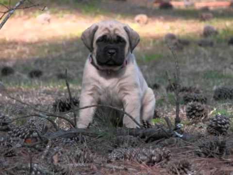 English Mastiff Puppies For Sale In Pa Youtube
