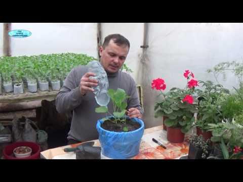 Высадка рассады баклажанов в открытый грунт и теплицу