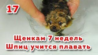 🐾 Щенкам 7 недель. Шпиц учится плавать. Дегельминтизация собаки. Щенок пробует лакомство