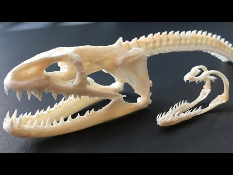 Peppered Moray Eel Skull With Pharyngeal Jaw