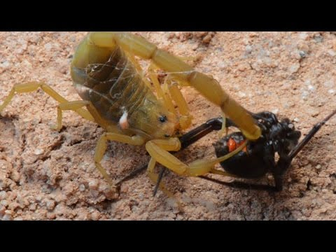 Scorpion Catching, Stinging, And Preying On Black Widow (Warning:May be disturbing to some viewers.)