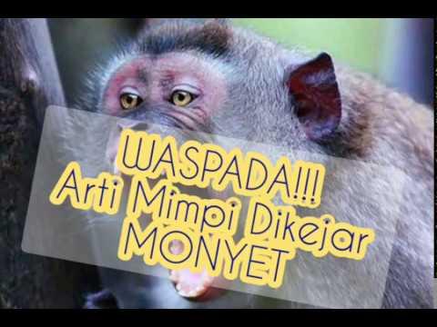 Mimpi dikejar monyet banyak togel