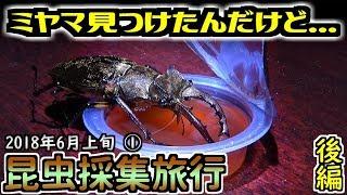今年初めて見つけたミヤマクワガタだったのですが... 昆虫採集旅行2日...
