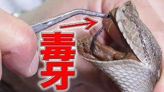 猛毒ヘビの牙を抜いてMEGWINに注射したら大事故に