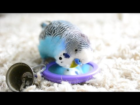 Budgie Sounds [Talking to the mirror]