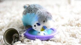 Repeat youtube video Budgie Sounds [Talking to the mirror]