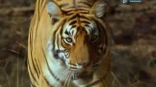 Звериные баталии! Сибирский тигр против бурого мед...