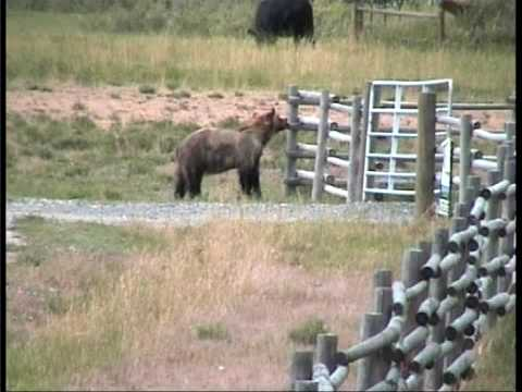 Grizzly Bear chased off by cows Yellowstone